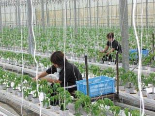 トマト 作業風景.jpg