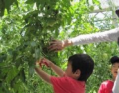 トマト収穫体験ツアー2010.6.6ブログ2.jpg