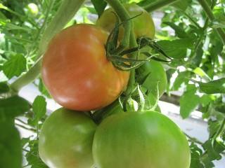 トマト収穫体験ツアー2010.6.6ブログ3.jpg
