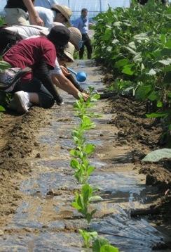 仙台白菜プロジェクト2012.9.8 .jpg