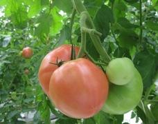 大きなトマト.jpg