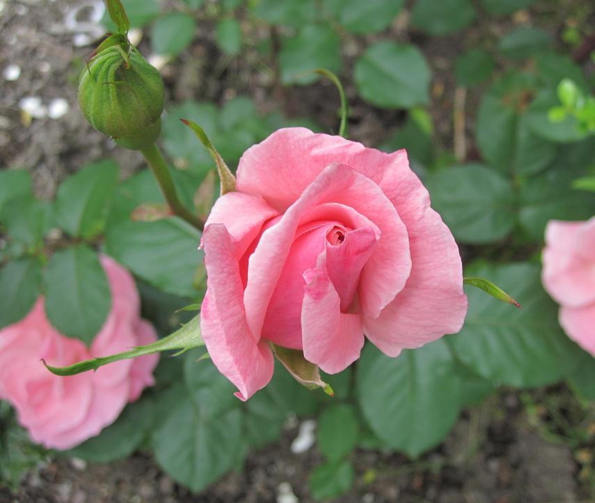 庭バラ.jpg