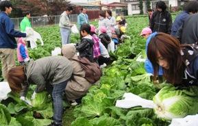 白菜収穫体験ツアー3.jpg
