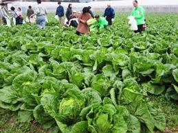 白菜収穫体験1.jpg