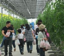 トマト収穫2013.6.2-4.jpg