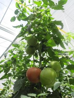 トマト2013.6.2 .jpg