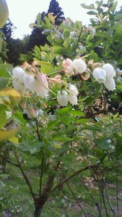 ブルーベリーの花 鳴子 H22.5.31.jpg
