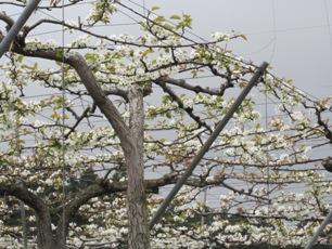 2013.5.1(仙南梨畑.jpg