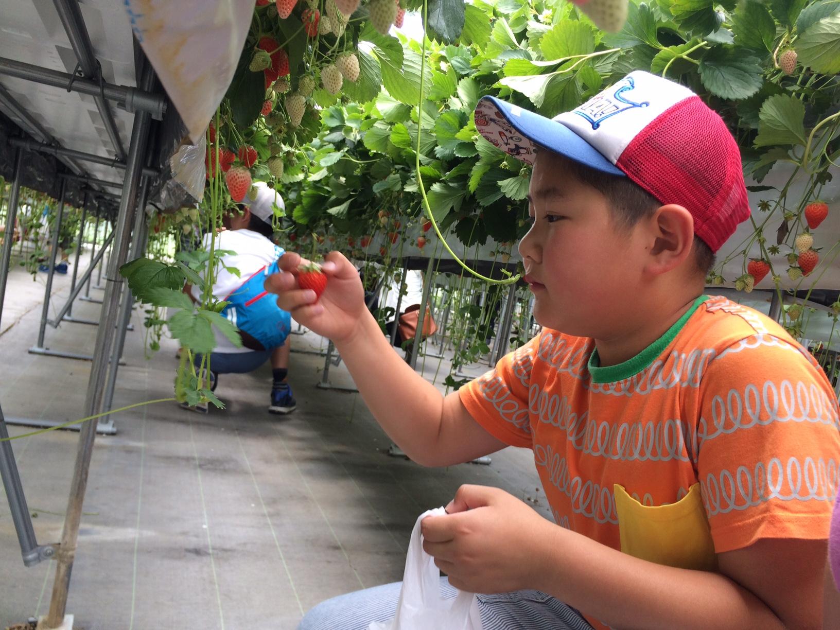 イチゴ収穫(お兄ちゃん)