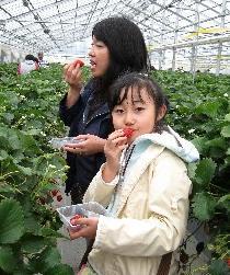 JAみやぎ亘理いちご2010.5.23.jpg