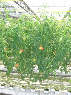 トマトの木2.jpg